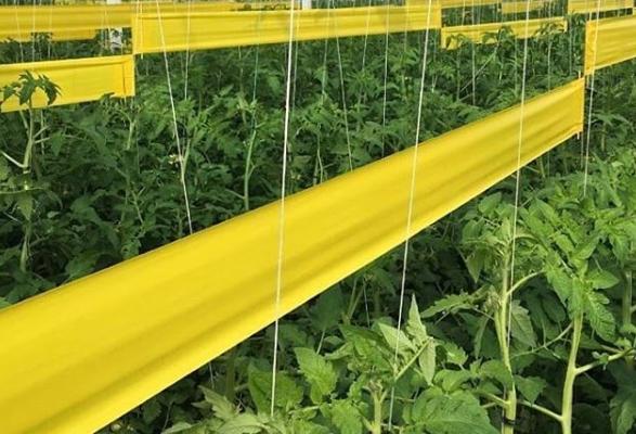 biogreenagro-30cmx100m-Sarı-Rulo-Tuzak2