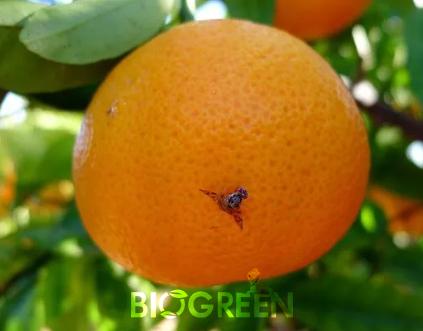 biogreenagro-akdenizmeyvesinegituzagi2