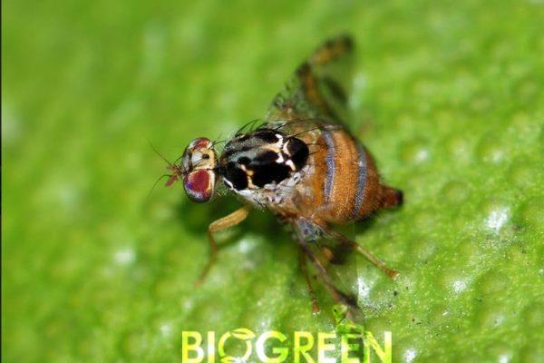 biogreenagro-akdenizmeyvesinegituzagi3