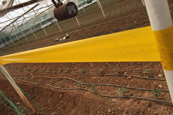 15 cm x 100 m sarı rulo tuzak-2