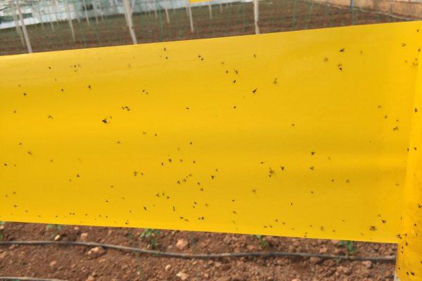 15 cm x 100 m sarı rulo tuzak